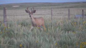 Big Mule Deer and Bucking The Odds