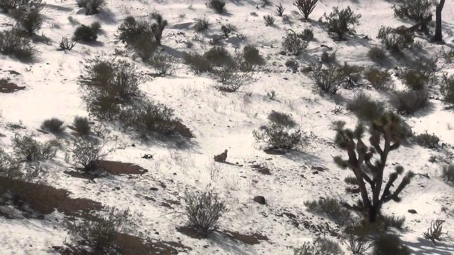 Coyote 2015 Arizona