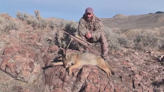 Coyote hunting in Nevada. Solo Hunts