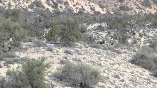 Hunting Coyotes in Arizona