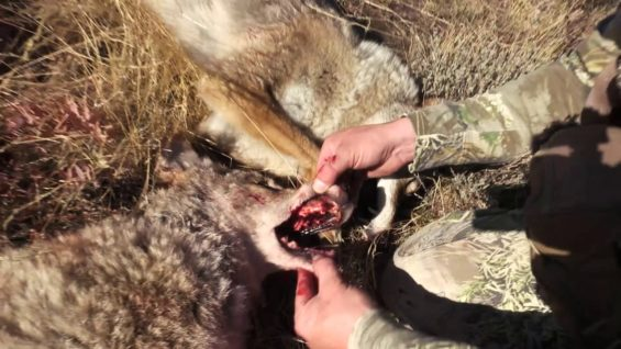 Coyote Hunting – Fall Coyote Calling – Coyote Assassins Episode 16