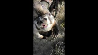 Coyote Snipers Live Badger Catch and Release!!