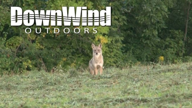 Eastern Coyote Hunting:  Hawg'd (DownWind Outdoors)