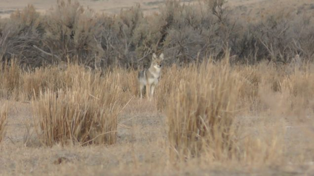 "Coyote Hunting Episode #21 ""Kansas Boys"""