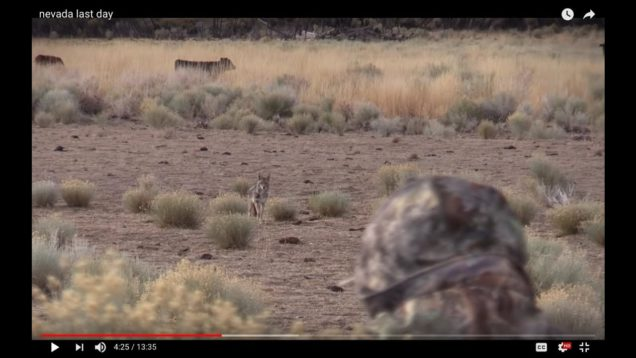 COYOTES ARE EVERYWHERE!!!