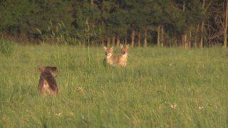 Koolaid Prostaff (decoy dog action)
