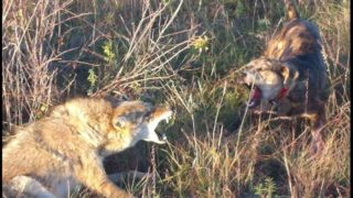 Rock you (coyote hunting)