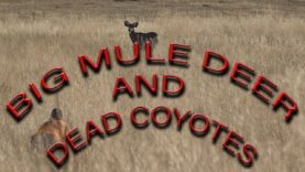 Calling Coyotes and predator hunting in Kansas and Wyoming,,,, Oh and Stalking Mule Deer!!!