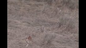 Coyote Hunting – The BEST DECOY DOGGIN video- Coyote Assassins Episode 31