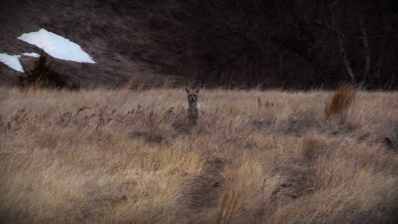 "Coyote Hunting, 2 Coyotes:  C.C. Season 1 E8 ""No Quit"""