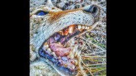 Coyote Hunting – Nevada Trip with FIVE COYOTES taking Dirt NAPS  – Coyote Assassins Episode 37