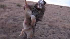 Coyote Comes Running on a Rope!!