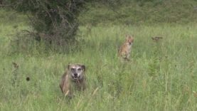 Kansas coyote, DRT