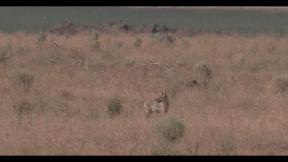 Coyote Hunting – The Beginning of Fall Season – Coyote Assassins Episode 40