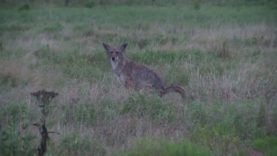Dog takes on deranged coyote.