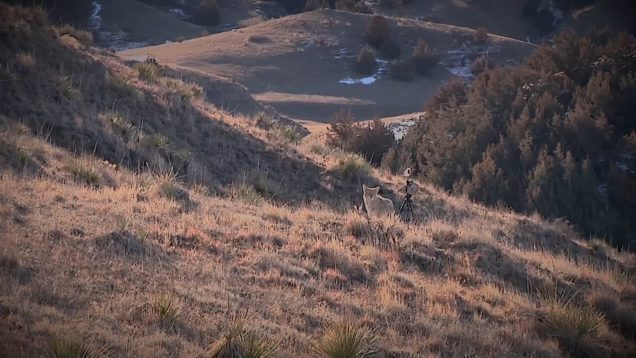 """Coyote Hunting, 2 Coyotes:  C.C. Season 2 E7 """"Double Tapped"""""""