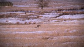 """Coyote Hunting, 3 Coyotes:  C.C. Season 2 E8 """"Miss Smaller"""""""