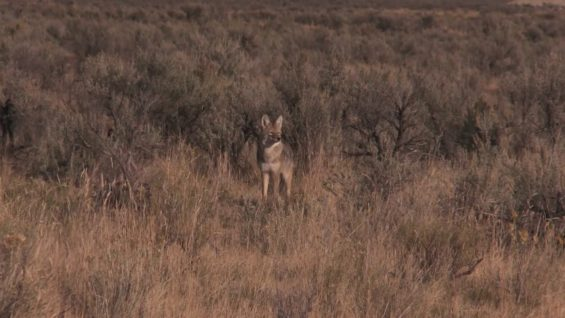 Coyote Hunting – 90 Kills in ONE Video!!!! – Coyote Assassins Final Episode Season 1