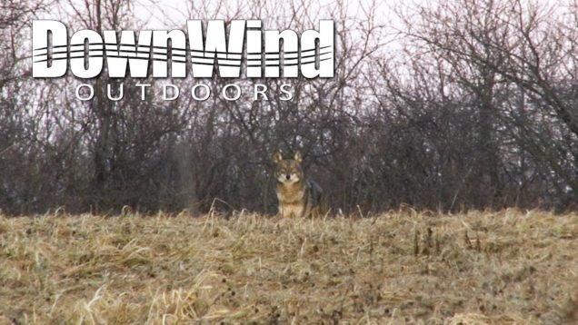 Eastern Coyote Hunting:  Video Game (DownWind Outdoors)