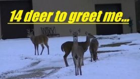 14 deer to greet me right before my coyote hunt…