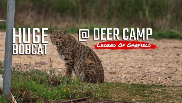 Huge Bobcat Invades Deer Camp – Legend Of Garfield