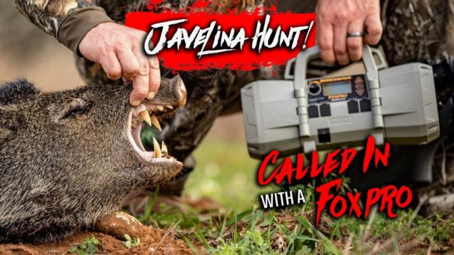 Javelina Hunt! Called In With A Foxpro