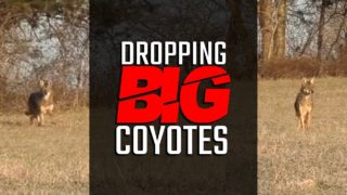 Dropping Big Coyotes – Coyote Hunting