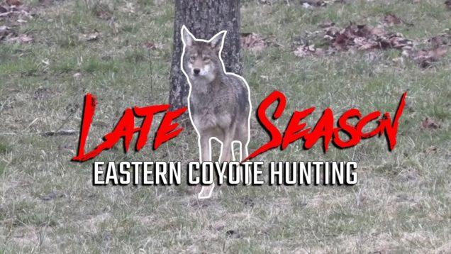 Late Season Eastern Coyote Hunting