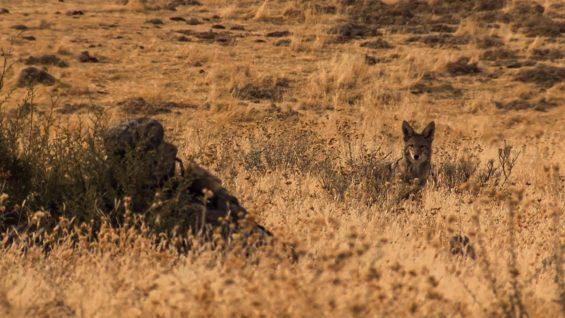 California Coyotes
