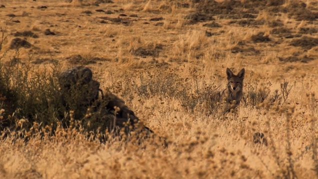 California Coyotes