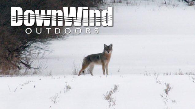 Eastern Coyote Hunting:  Sack of Potatoes (DownWind Outdoors)