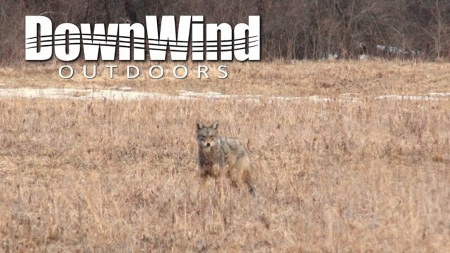 Eastern Coyote Hunting:  Thumped (DownWind Outdoors)