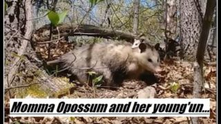 Momma Opossum and her young'un…