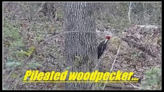 Pileated woodpecker out scaring up some breakfast…