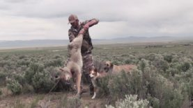 Coyote Hunting – DECOY DOGGING in the SPRING – Coyote Assassins S2:E4