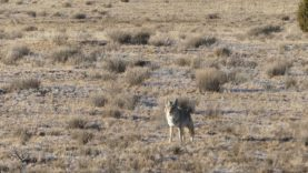 Rob's Double *Guided Coyote Hunt