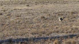 Coyotes, Mule Deer & Ravens come to the call!