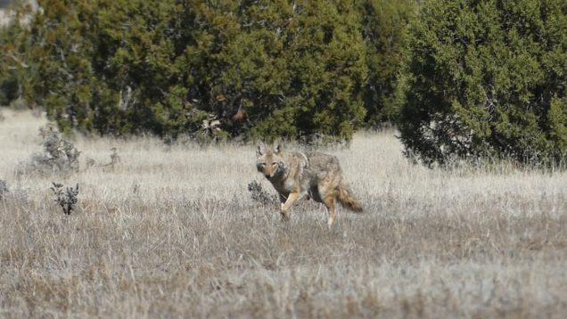 Mid-Day Coyote