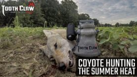 Coyote Hunting The Summer Heat