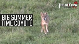 BIG Summer Time Coyote – Coyote Hunting