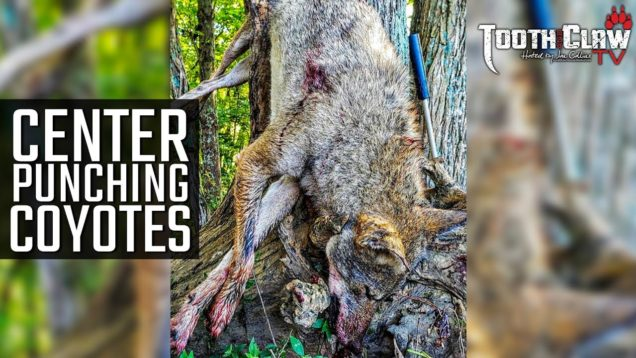 Center Punching Coyotes – Coyote Hunting