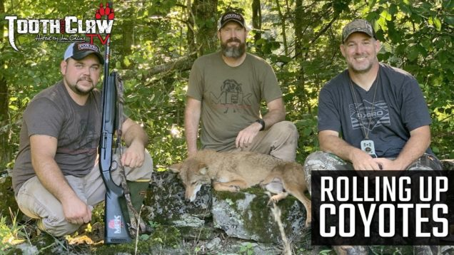 Rolling Up Coyotes – Coyote Hunting