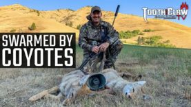Swarmed By Coyotes – Coyote Hunting