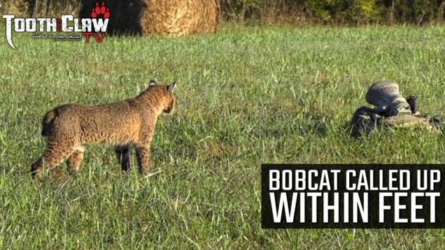Bobcat Called Up Within Feet