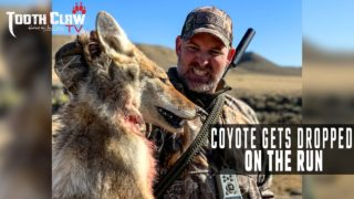 Coyote Gets Dropped On The Run – Coyote Hunting