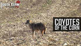 Coyotes Of The Corn – Coyote Hunting