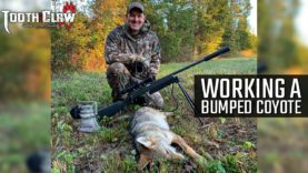 Working A Bumped Coyote – Coyote Hunting