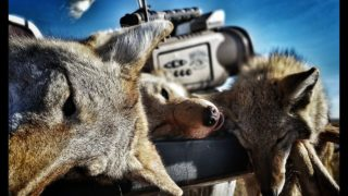 16 coyotes in 1 day including a coyote biting the call!! The Last Stand S2 – E6