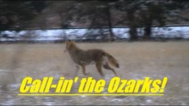 Coyote Hunting in the Ozarks of Missouri, SOLO, number 44…