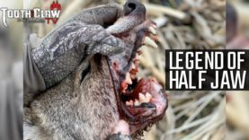 Legend Of Half Jaw – Coyote Hunting